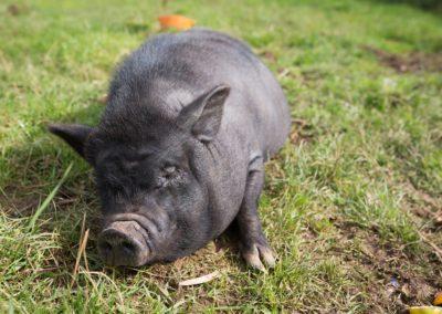 Pig-Oct-18